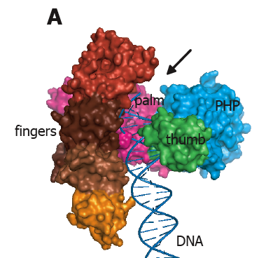 x ray structure of dna polymerase iii of e coli the fingers palm and thumb domains are colored and labeled the blue domain labeled php is unique to pol